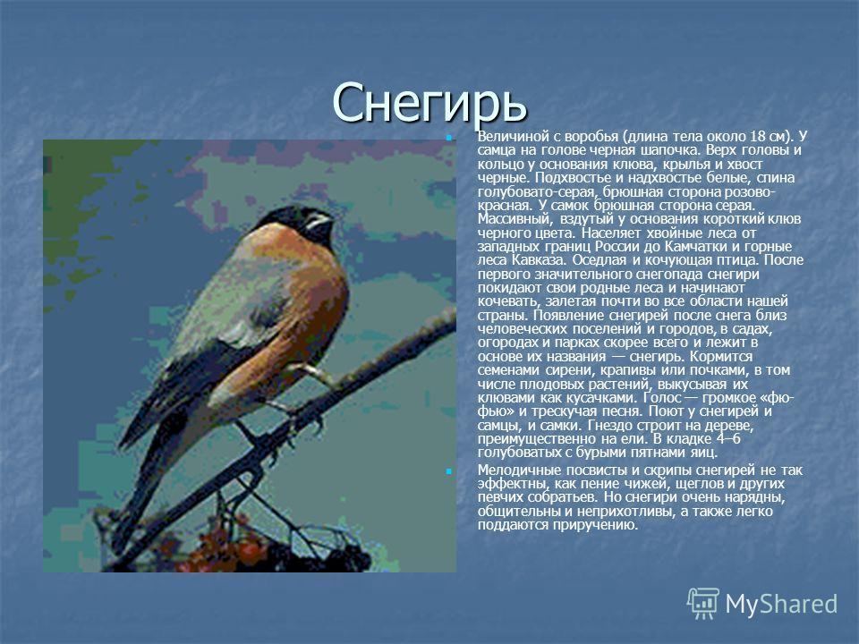 Снегирь Величиной с воробья (длина тела около 18 см). У самца на голове черная шапочка. Верх головы и кольцо у основания клюва, крылья и хвост черные. Подхвостье и надхвостье белые, спина голубовато-серая, брюшная сторона розово- красная. У самок брю