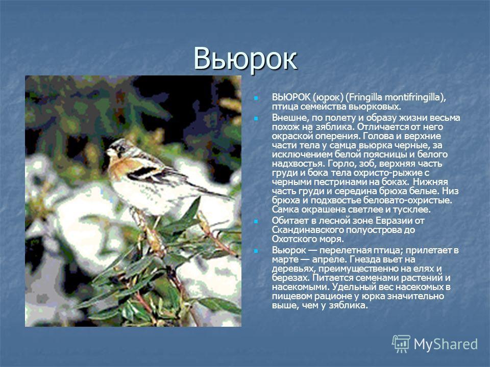 Вьюрок ВЬЮРОК (юрок) (Fringilla montifringilla), птица семейства вьюрковых. Внешне, по полету и образу жизни весьма похож на зяблика. Отличается от него окраской оперения. Голова и верхние части тела у самца вьюрка черные, за исключением белой поясни