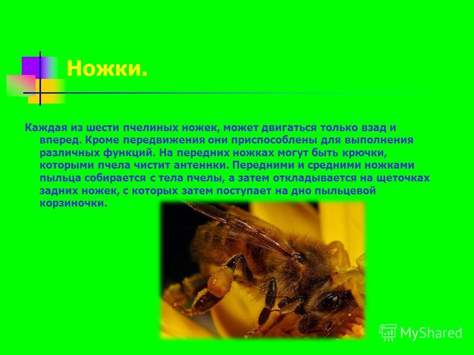 Каждая из шести пчелиных ножек, может двигаться только взад и вперед. Кроме передвижения они приспособлены для выполнения различных функций. На передних ножках могут быть крючки, которыми пчела чистит антеннки. Передними и средними ножками пыльца соб