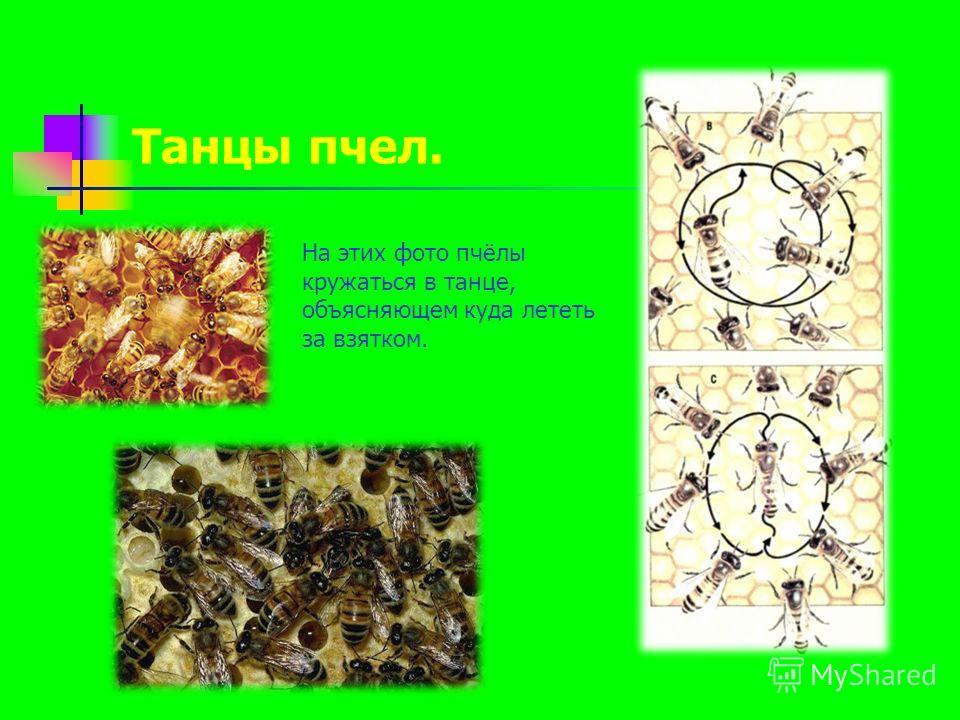 Танцы пчел. На этих фото пчёлы кружаться в танце, объясняющем куда лететь за взятком.