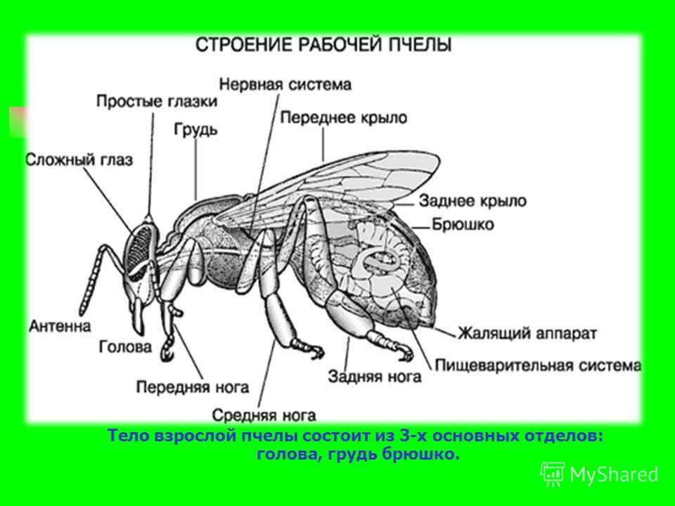Тело взрослой пчелы состоит из 3-х основных отделов: голова, грудь брюшко.
