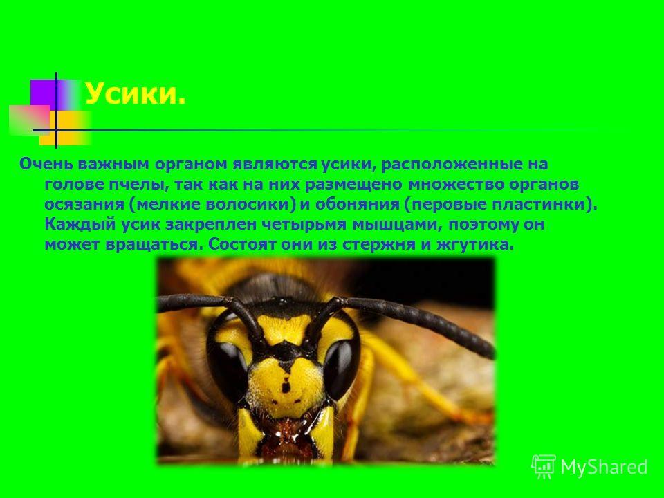 Очень важным органом являются усики, расположенные на голове пчелы, так как на них размещено множество органов осязания (мелкие волосики) и обоняния (перовые пластинки). Каждый усик закреплен четырьмя мышцами, поэтому он может вращаться. Состоят они