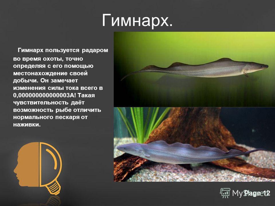 Free Powerpoint TemplatesPage 12 Гимнарх. Гимнарх пользуется радаром во время охоты, точно определяя с его помощью местонахождение своей добычи. Он замечает изменения силы тока всего в 0,000000000000003А! Такая чувствительность даёт возможность рыбе