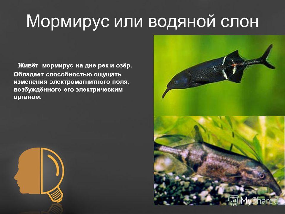 Free Powerpoint TemplatesPage 13 Мормирус или водяной слон Живёт мормирус на дне рек и озёр. Обладает способностью ощущать изменения электромагнитного поля, возбуждённого его электрическим органом.