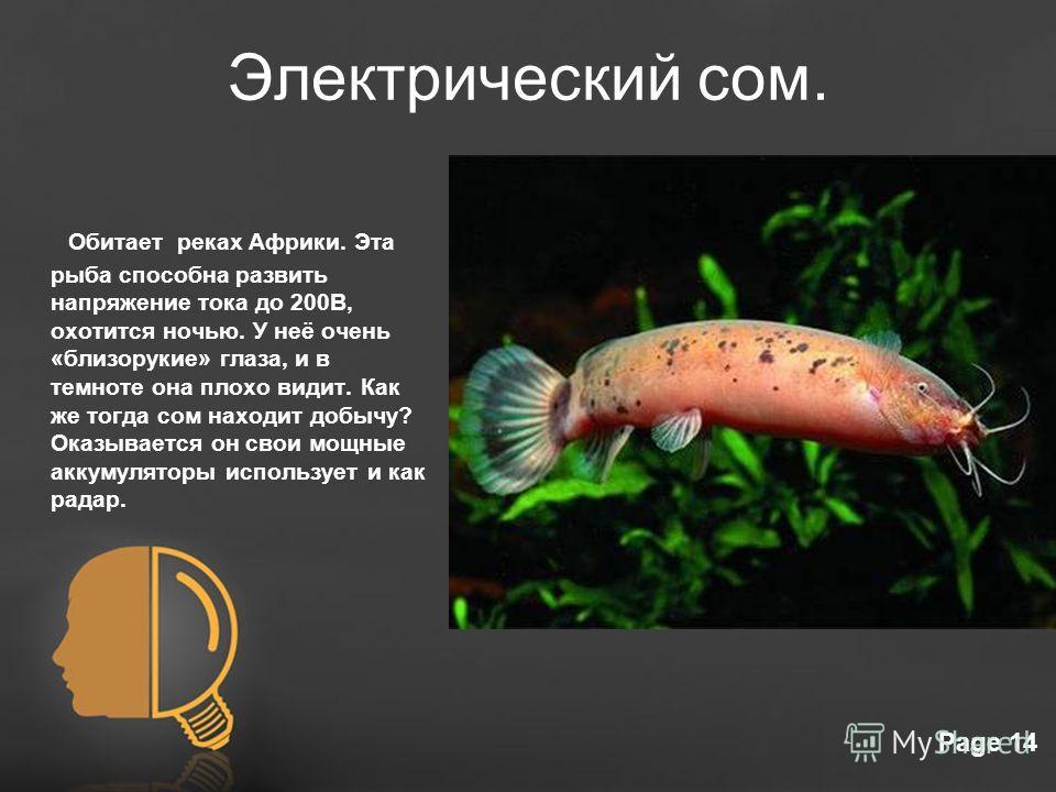 Free Powerpoint TemplatesPage 14 Электрический сом. Обитает реках Африки. Эта рыба способна развить напряжение тока до 200В, охотится ночью. У неё очень «близорукие» глаза, и в темноте она плохо видит. Как же тогда сом находит добычу? Оказывается он