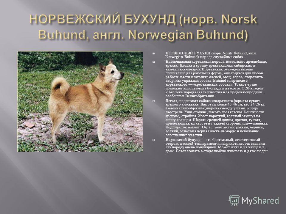 НОРВЕЖСКИЙ БУХУНД ( норв. Norsk Buhund, англ. Norwegian Buhund), порода служебных собак. Национальная норвежская порода, известная с древнейших времен. Входит в группу гренландских, сибирских и камчатских овчарок. Норвежских бухундов вывели специальн