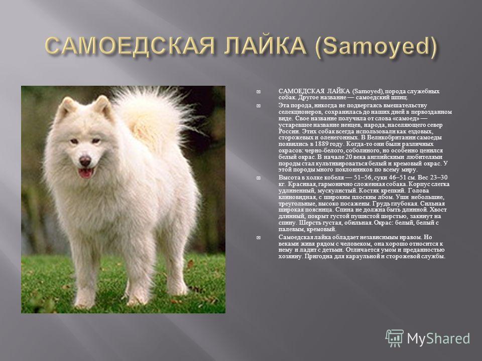 САМОЕДСКАЯ ЛАЙКА (Samoyed), порода служебных собак. Другое название самоедский шпиц. Эта порода, никогда не подвергаясь вмешательству селекционеров, сохранилась до наших дней в первозданном виде. Свое название получила от слова « самоед » устаревшее