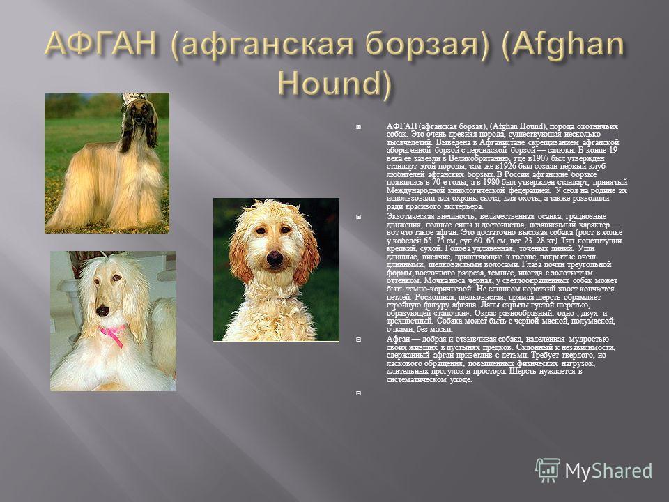 АФГАН ( афганская борзая ), (Afghan Hound), порода охотничьих собак. Это очень древняя порода, существующая несколько тысячелетий. Выведена в Афганистане скрещиванием афганской аборигенной борзой с персидской борзой салюки. В конце 19 века ее завезли