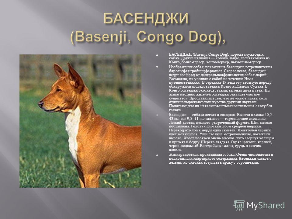 БАСЕНДЖИ (Basenji, Congo Dog), порода служебных собак. Другие названия собака Занде, лесная собака из Конго, бонго - терьер, конго - терьер, ньям - ньям - терьер. Изображения собак, похожих на басенджи, встречаются на барельефах гробниц фараонов. Ско