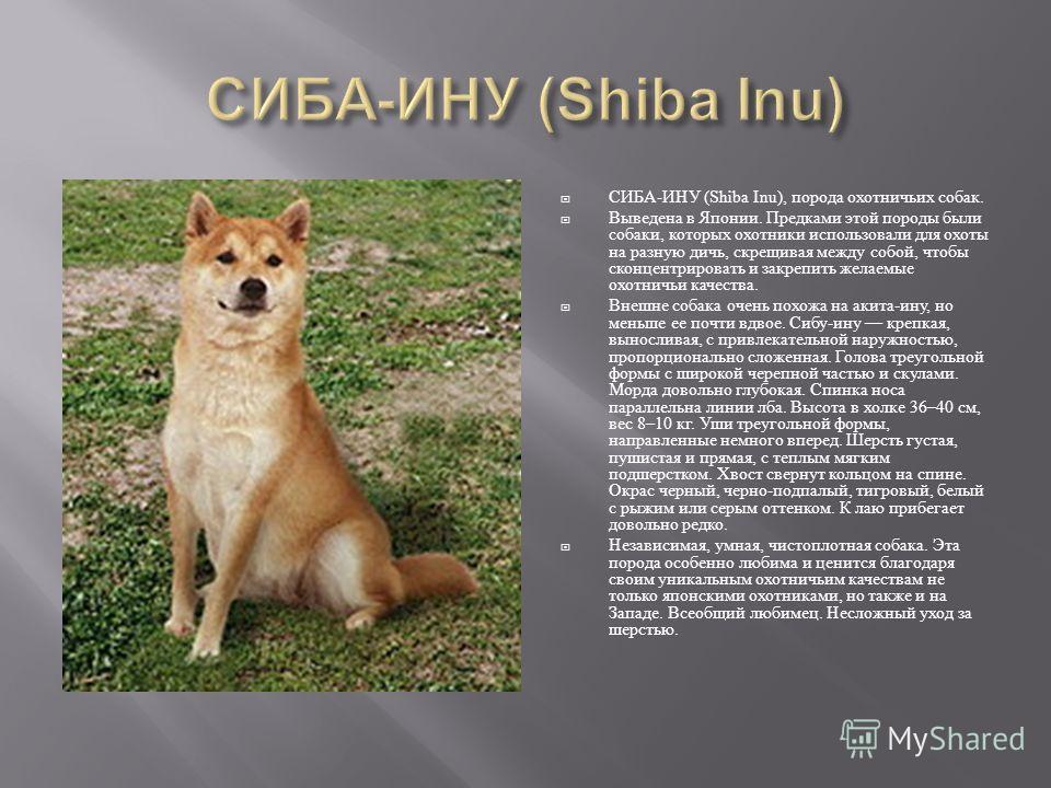 СИБА - ИНУ (Shiba Inu), порода охотничьих собак. Выведена в Японии. Предками этой породы были собаки, которых охотники использовали для охоты на разную дичь, скрещивая между собой, чтобы сконцентрировать и закрепить желаемые охотничьи качества. Внешн