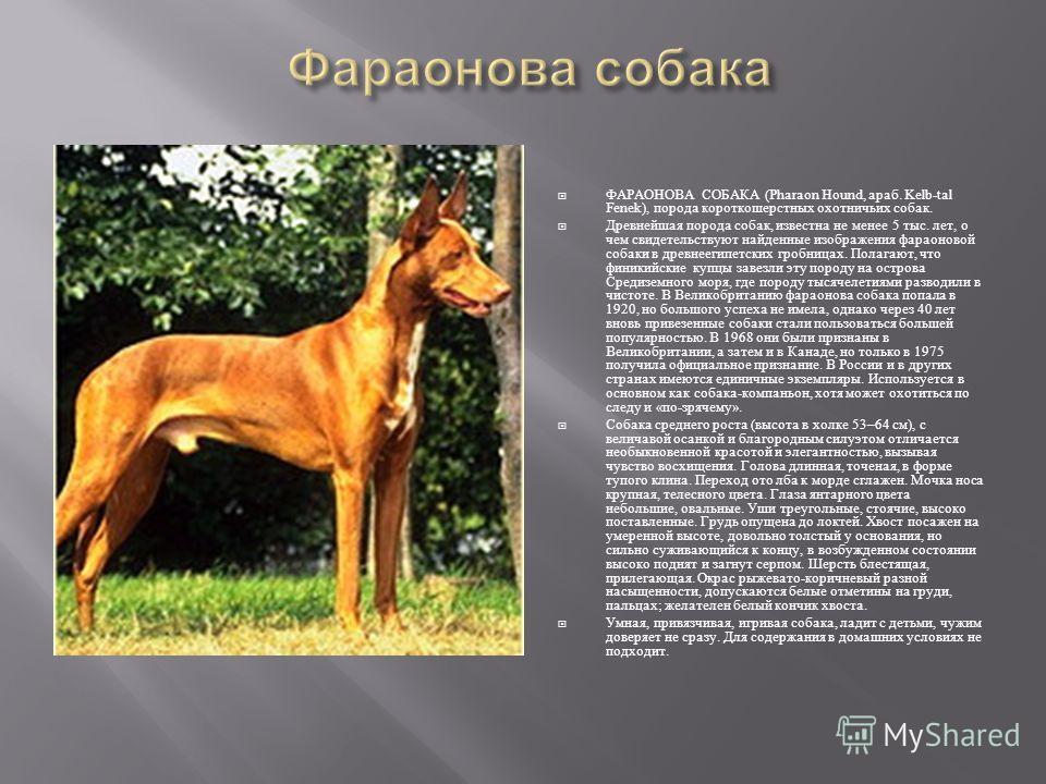 ФАРАОНОВА СОБАКА (Pharaon Hound, араб. Kelb-tal Fenek), порода короткошерстных охотничьих собак. Древнейшая порода собак, известна не менее 5 тыс. лет, о чем свидетельствуют найденные изображения фараоновой собаки в древнеегипетских гробницах. Полага