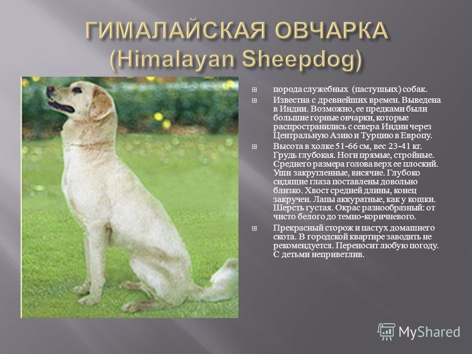 порода служебных ( пастушьих ) собак. Известна с древнейших времен. Выведена в Индии. Возможно, ее предками были большие горные овчарки, которые распространились с севера Индии через Центральную Азию и Турцию в Европу. Высота в холке 51-66 см, вес 23