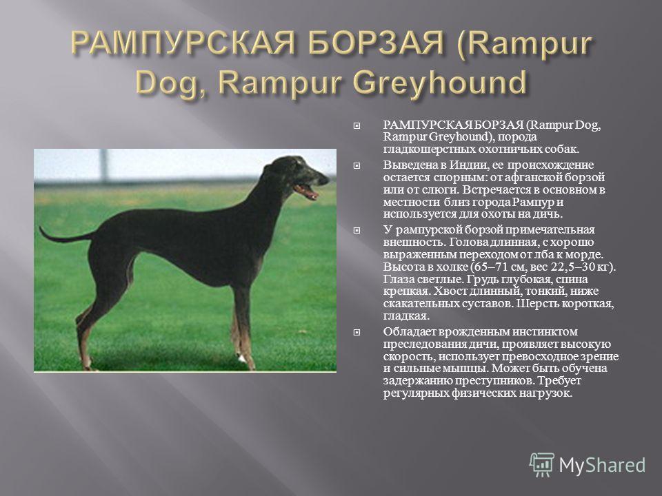 РАМПУРСКАЯ БОРЗАЯ (Rampur Dog, Rampur Greyhound), порода гладкошерстных охотничьих собак. Выведена в Индии, ее происхождение остается спорным : от афганской борзой или от слюги. Встречается в основном в местности близ города Рампур и используется для