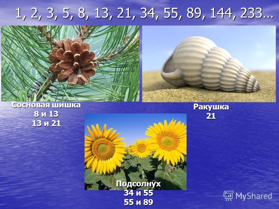 Сосновая шишка 8 и 13 13 и 21 Ракушка21 Подсолнух 34 и 55 55 и 89 1, 2, 3, 5, 8, 13, 21, 34, 55, 89, 144, 233…