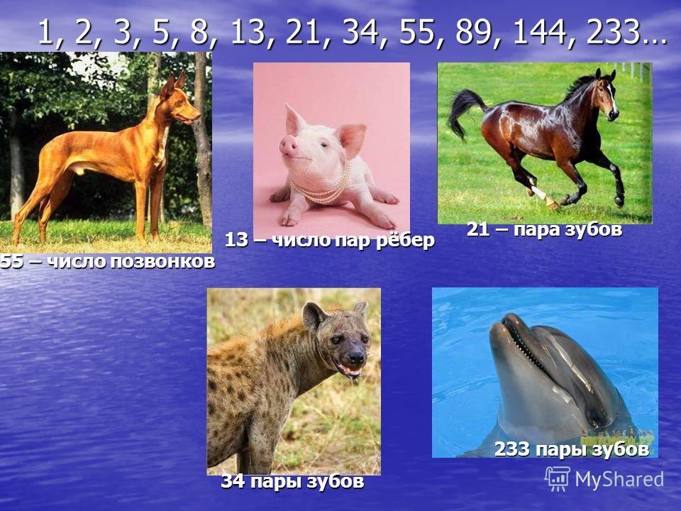 13 – число пар рёбер 21 – пара зубов 34 пары зубов 233 пары зубов 1, 2, 3, 5, 8, 13, 21, 34, 55, 89, 144, 233… 55 – число позвонков