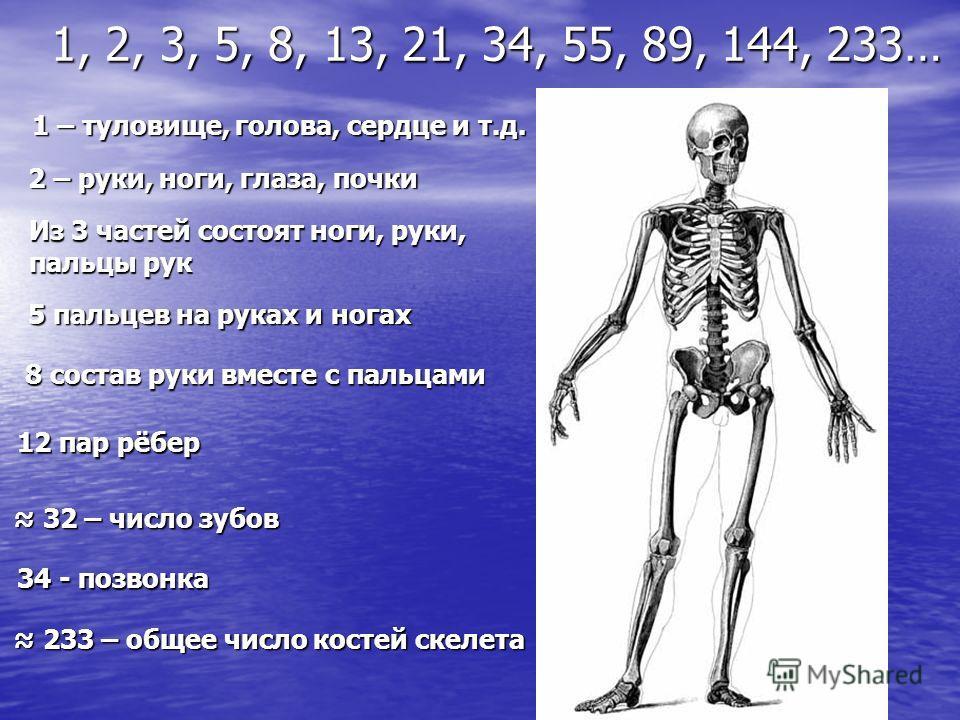 1 – туловище, голова, сердце и т.д. 2 – руки, ноги, глаза, почки Из 3 частей состоят ноги, руки, пальцы рук 5 пальцев на руках и ногах 8 состав руки вместе с пальцами 12 пар рёбер 34 - позвонка 32 – число зубов 32 – число зубов 233 – общее число кост