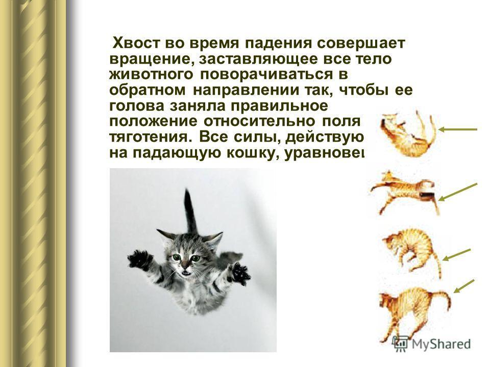Хвост во время падения совершает вращение, заставляющее все тело животного поворачиваться в обратном направлении так, чтобы ее голова заняла правильное положение относительно поля тяготения. Все силы, действующие на падающую кошку, уравновешены.
