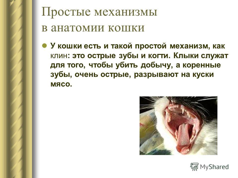 У кошки есть и такой простой механизм, как клин: это острые зубы и когти. Клыки служат для того, чтобы убить добычу, а коренные зубы, очень острые, разрывают на куски мясо. Простые механизмы в анатомии кошки