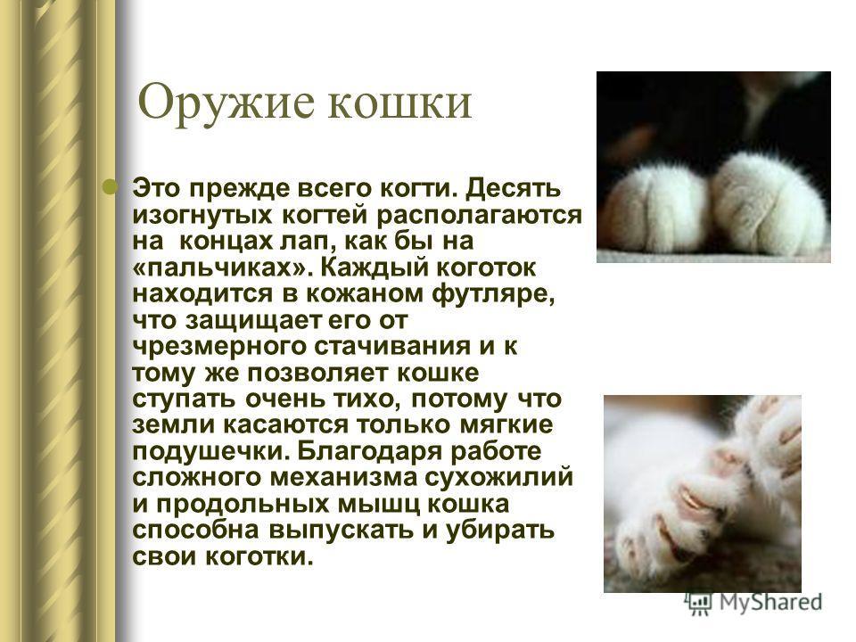 Оружие кошки Это прежде всего когти. Десять изогнутых когтей располагаются на концах лап, как бы на «пальчиках». Каждый коготок находится в кожаном футляре, что защищает его от чрезмерного стачивания и к тому же позволяет кошке ступать очень тихо, по
