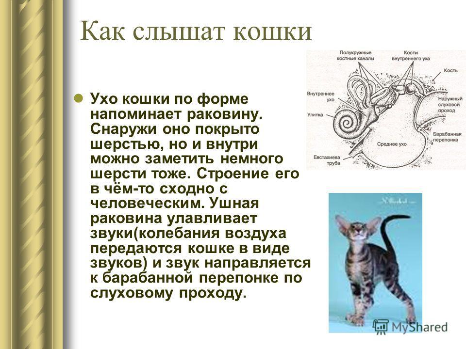Как слышат кошки Ухо кошки по форме напоминает раковину. Снаружи оно покрыто шерстью, но и внутри можно заметить немного шерсти тоже. Строение его в чём-то сходно с человеческим. Ушная раковина улавливает звуки(колебания воздуха передаются кошке в ви