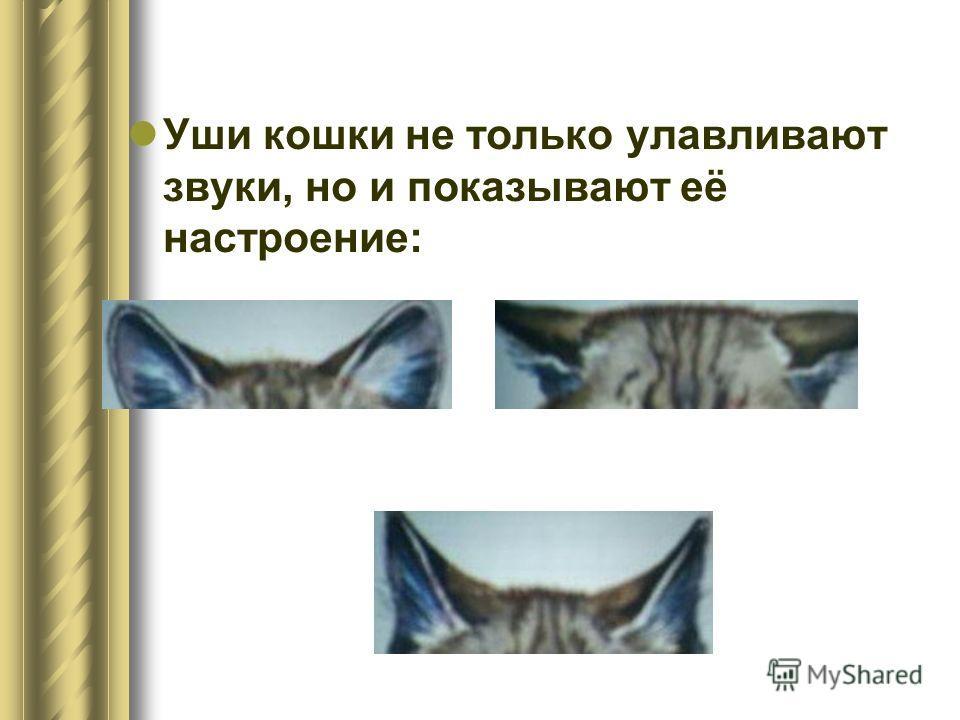 Уши кошки не только улавливают звуки, но и показывают её настроение: