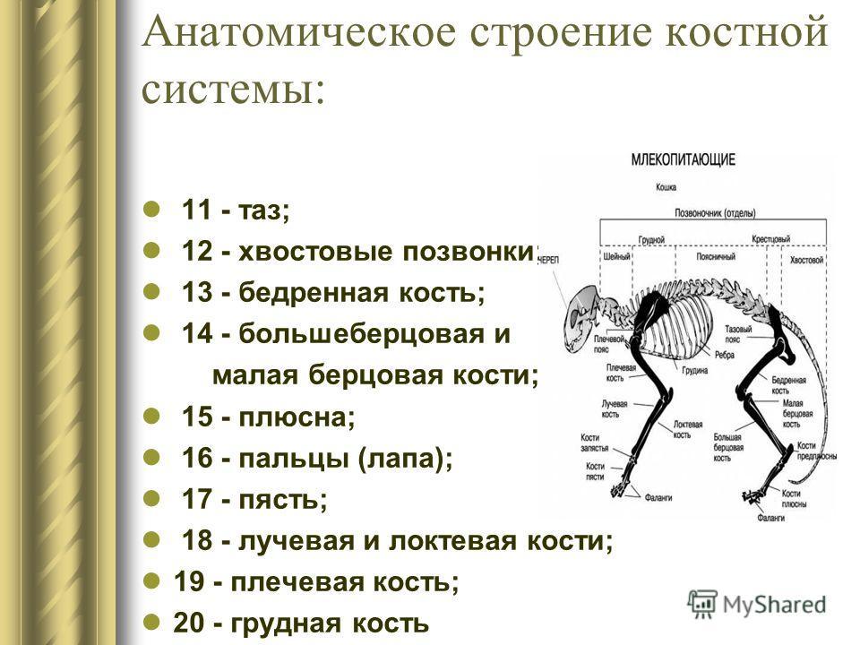 Анатомическое строение костной системы: 11 - таз; 12 - хвостовые позвонки; 13 - бедренная кость; 14 - большеберцовая и малая берцовая кости; 15 - плюсна; 16 - пальцы (лапа); 17 - пясть; 18 - лучевая и локтевая кости; 19 - плечевая кость; 20 - грудная