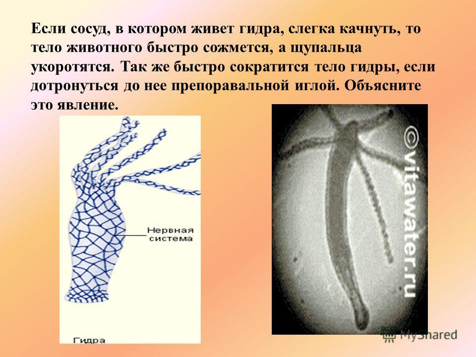 Если сосуд, в котором живет гидра, слегка качнуть, то тело животного быстро сожмется, а щупальца укоротятся. Так же быстро сократится тело гидры, если дотронуться до нее препоравальной иглой. Объясните это явление.