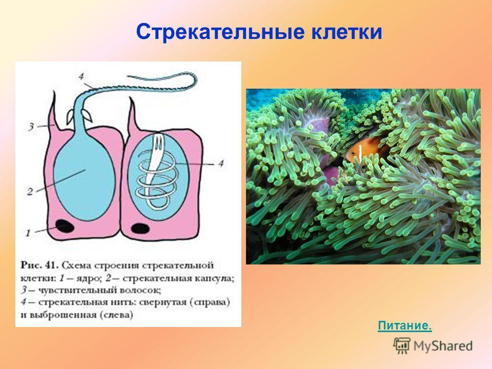 Питание. Стрекательные клетки
