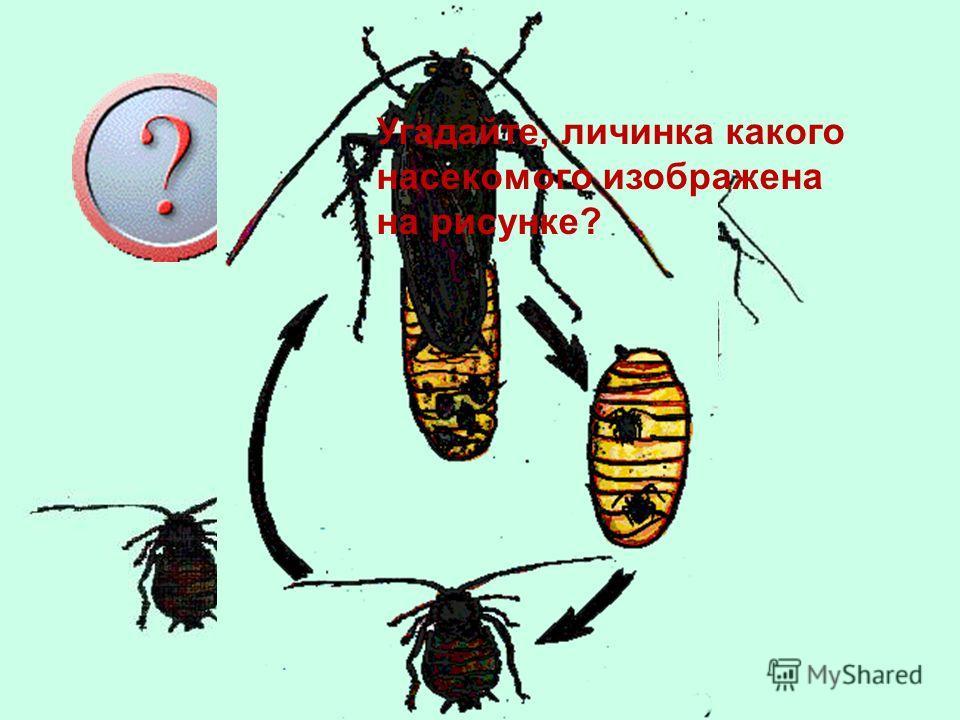 с насечками Признаки насекомых Шесть лап Тело разделено на три части: голова, грудь, брюшко На брюшке имеются насечки лапка грудь Брюшко голова