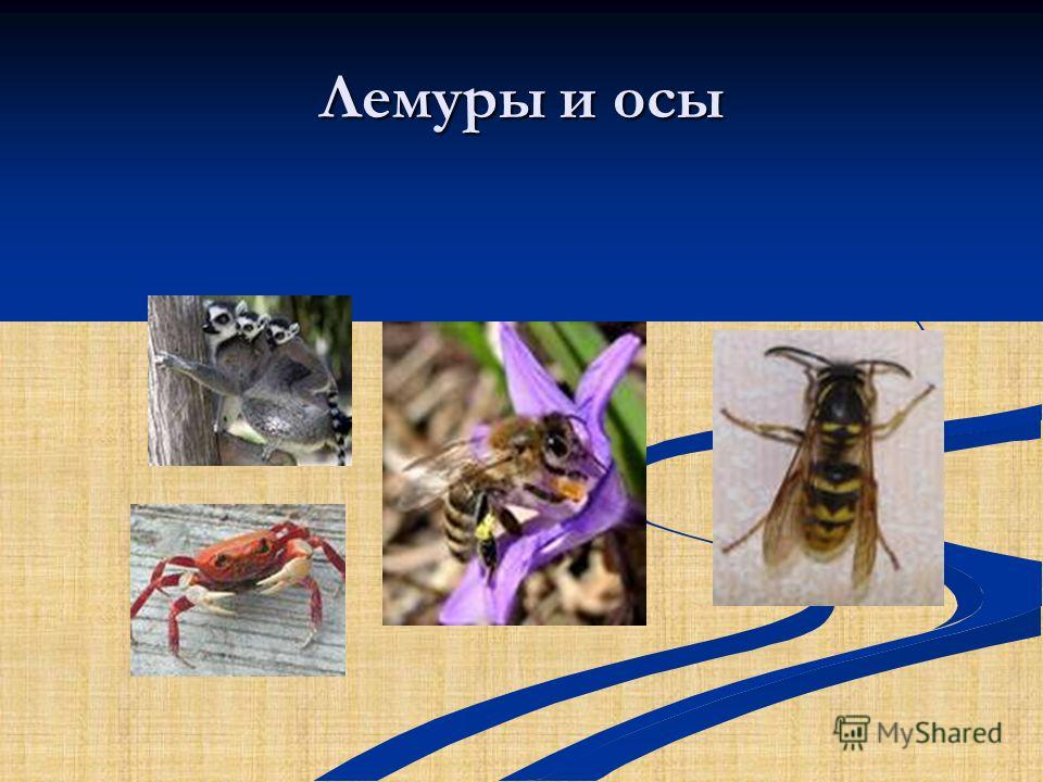 Лемуры и осы