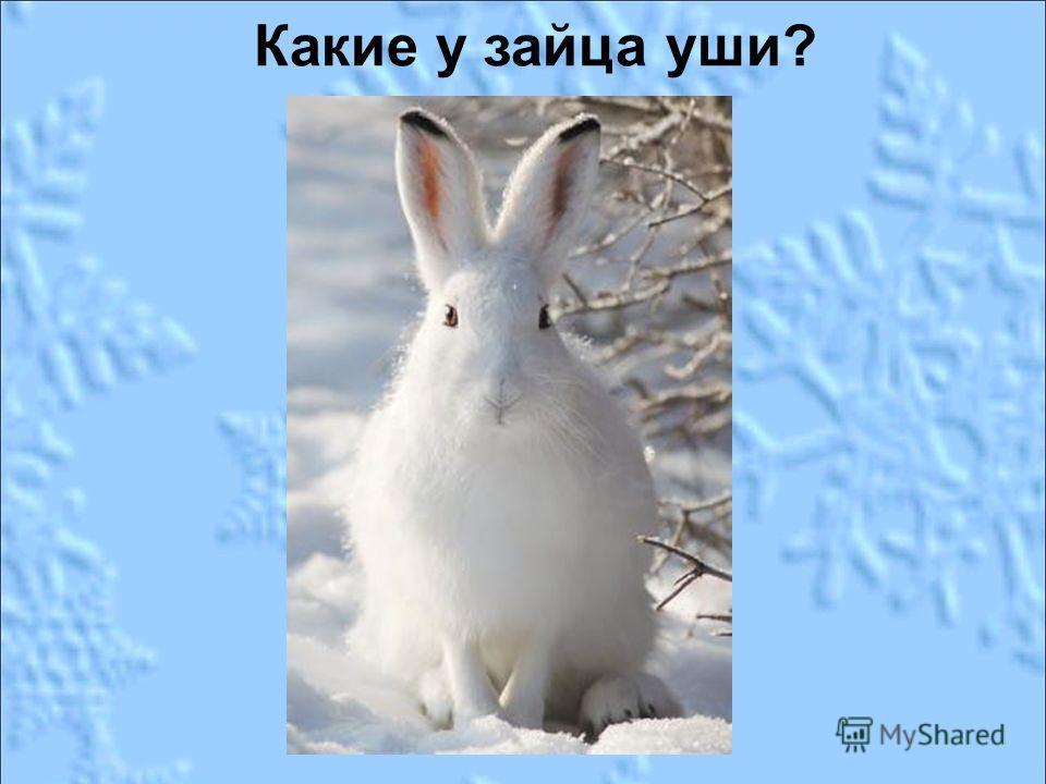 Какие у зайца уши?