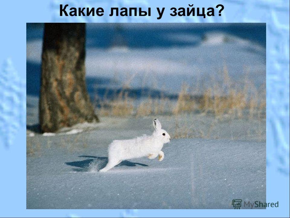 Какие лапы у зайца?