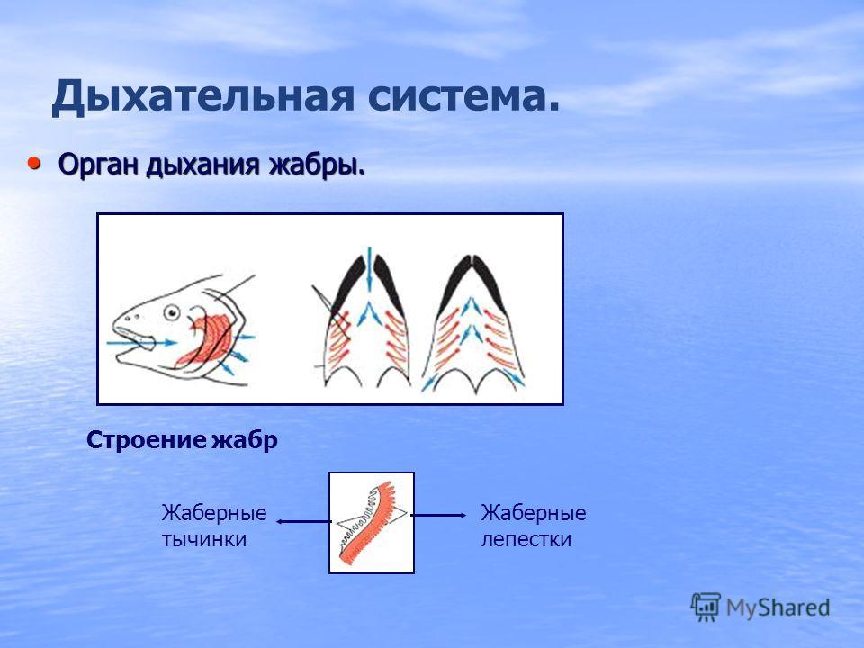 Кровеносная система. Кровеносная система замкнутая. Один круг кровообращения. Сердце двухкамерное: предсердие и желудочек.