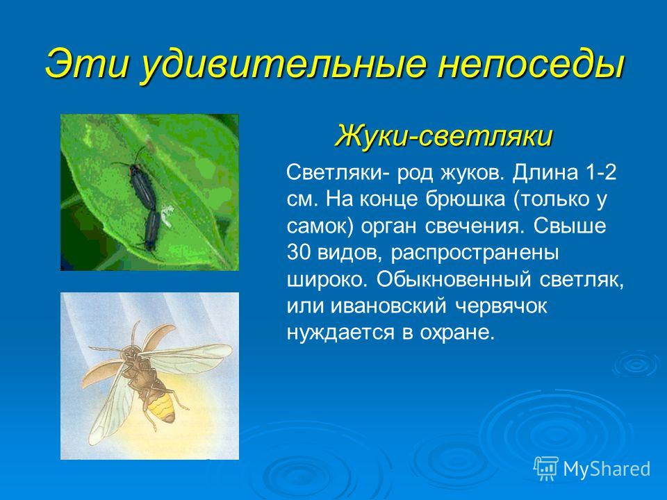 Эти удивительные непоседы Жуки-светляки Светляки- род жуков. Длина 1-2 см. На конце брюшка (только у самок) орган свечения. Свыше 30 видов, распространены широко. Обыкновенный светляк, или ивановский червячок нуждается в охране.