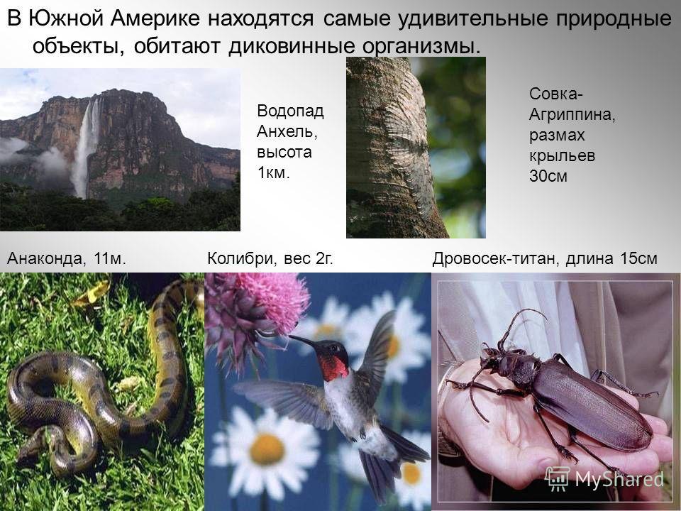 В Южной Америке находятся самые удивительные природные объекты, обитают диковинные организмы. Анаконда, 11м. Колибри, вес 2г. Дровосек-титан, длина 15см Водопад Анхель, высота 1км. Совка- Агриппина, размах крыльев 30см