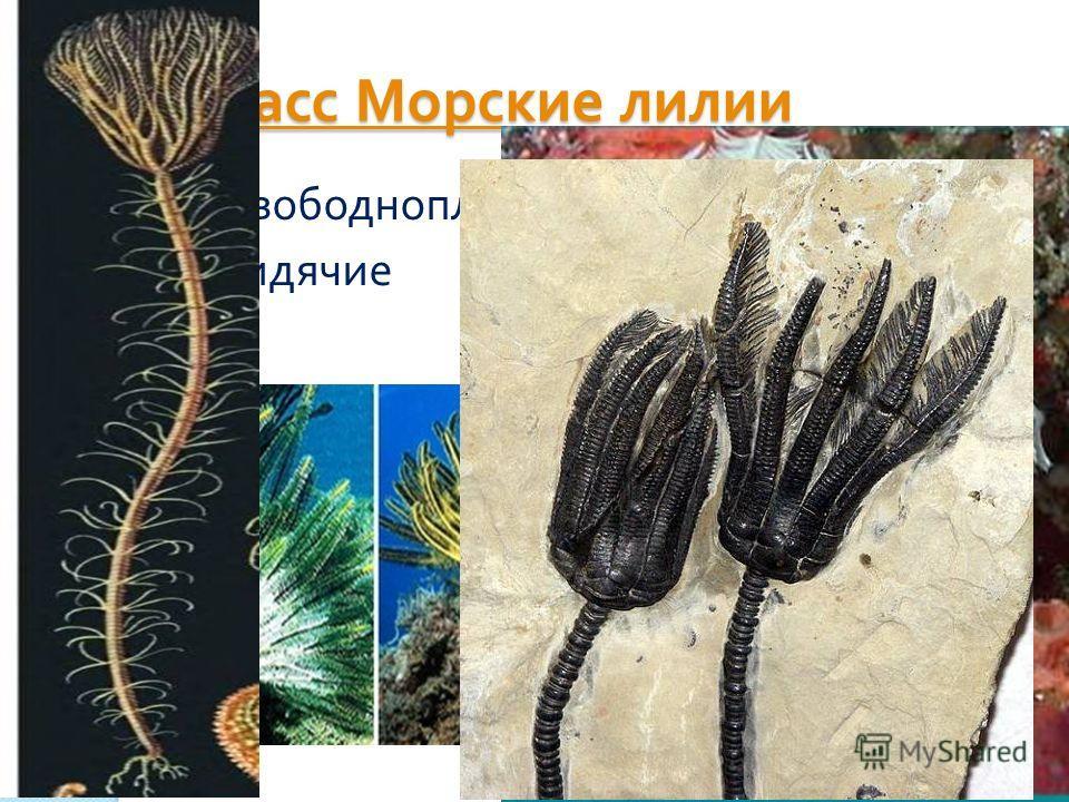 Класс Морские лилии Класс Морские лилии Свободноплавающие сидячие