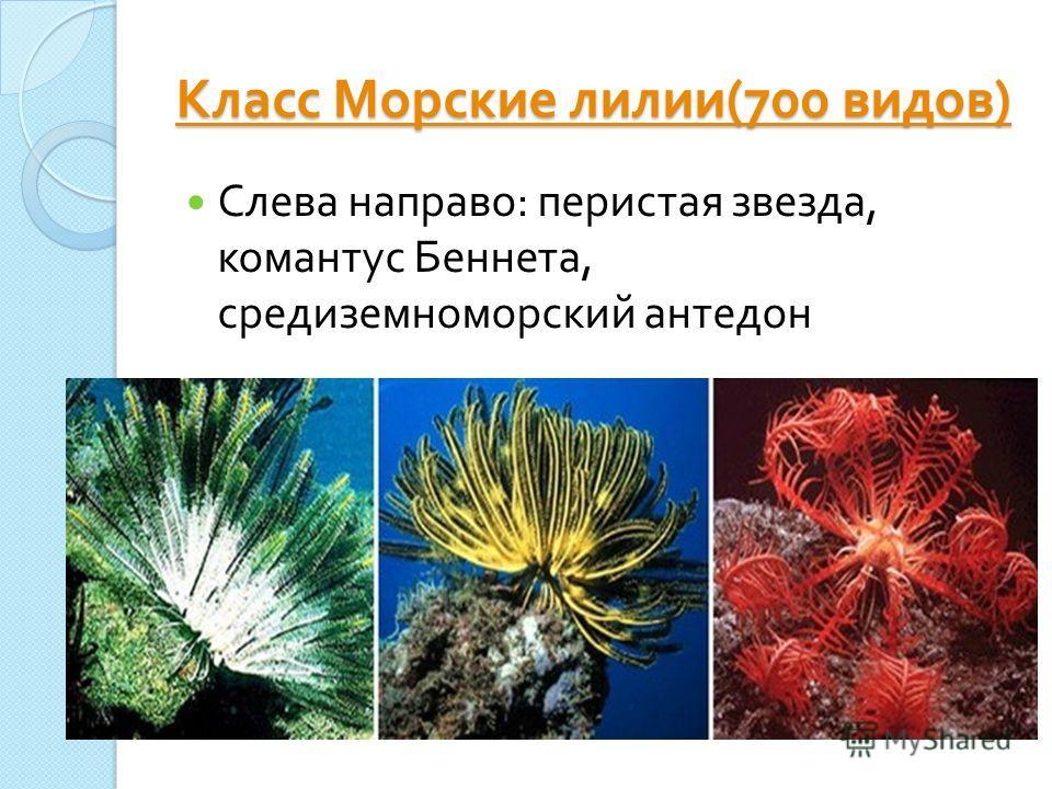 Класс Морские лилии (700 видов ) Класс Морские лилии (700 видов ) Слева направо : перистая звезда, комантус Беннета, средиземноморский антедон