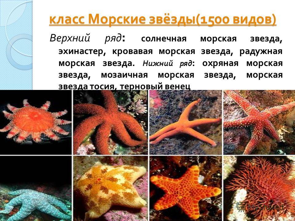 класс Морские звёзды (1500 видов ) класс Морские звёзды (1500 видов ) Верхний ряд : солнечная морская звезда, эхинастер, кровавая морская звезда, радужная морская звезда. Нижний ряд : охряная морская звезда, мозаичная морская звезда, морская звезда т