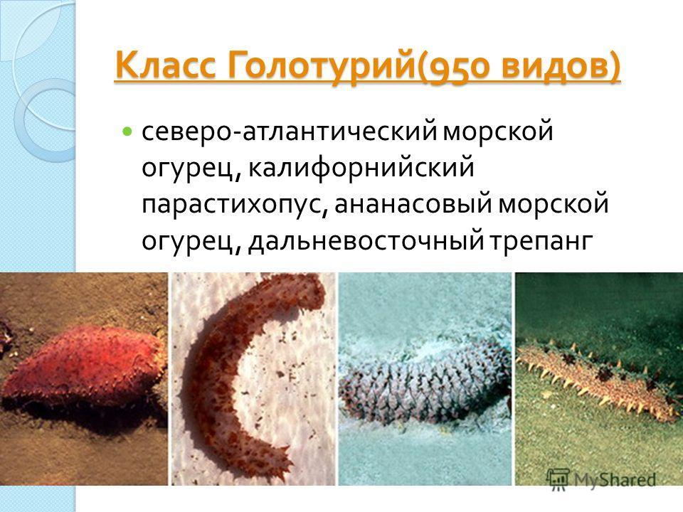 Класс Голотурий (950 видов ) Класс Голотурий (950 видов ) северо - атлантический морской огурец, калифорнийский парастихопус, ананасовый морской огурец, дальневосточный трепанг
