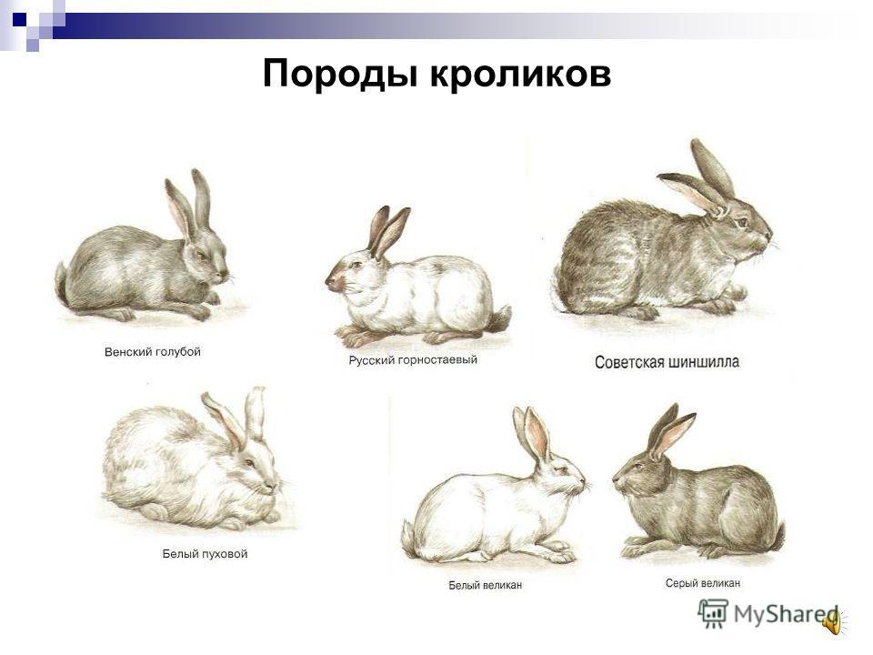 Особенности домашних кроликов Переносят низкие температуры Не выносят сырости и сквозняков Постоянный рост передних зубов Кролики пугливы
