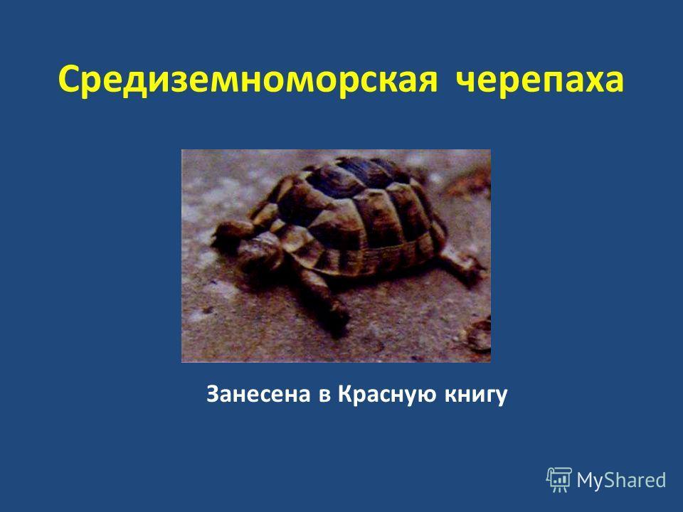 Средиземноморская черепаха Занесена в Красную книгу