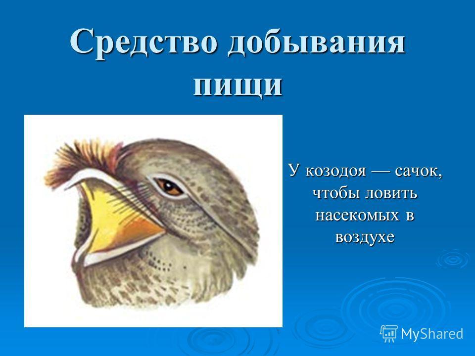Средство добывания пищи У козодоя сачок, чтобы ловить насекомых в воздухе