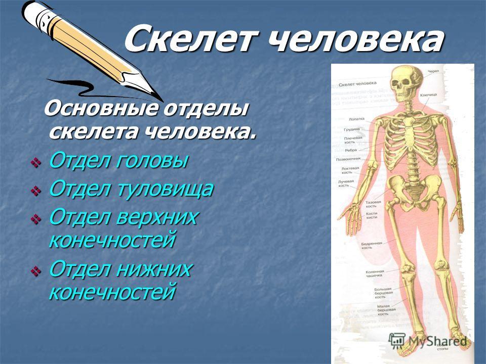 Скелет человека Скелет человека Основные отделы скелета человека. Основные отделы скелета человека. Отдел головы Отдел головы Отдел туловища Отдел туловища Отдел верхних конечностей Отдел верхних конечностей Отдел нижних конечностей Отдел нижних коне