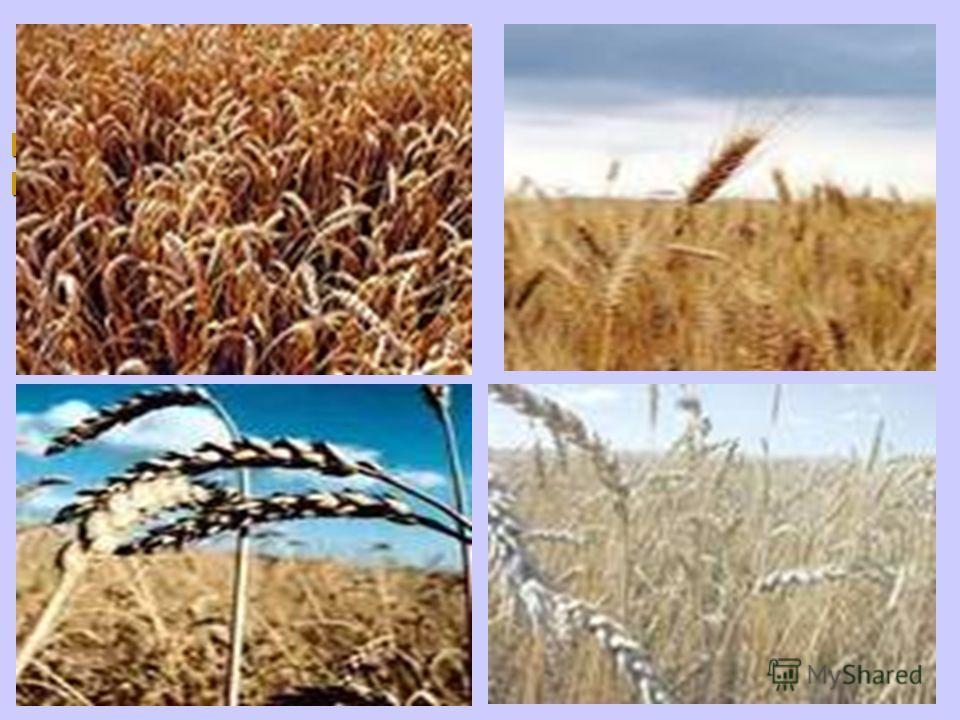 Как будто солнце льется с неба, с неба, Пшеничный катится поток. поток. Нет ничего превыше хлеба. В нем наш исток и наш итог.