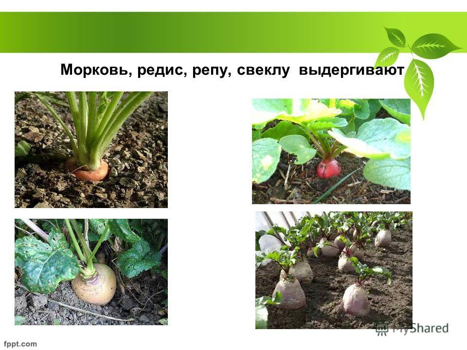 Морковь, редис, репу, свеклу выдергивают
