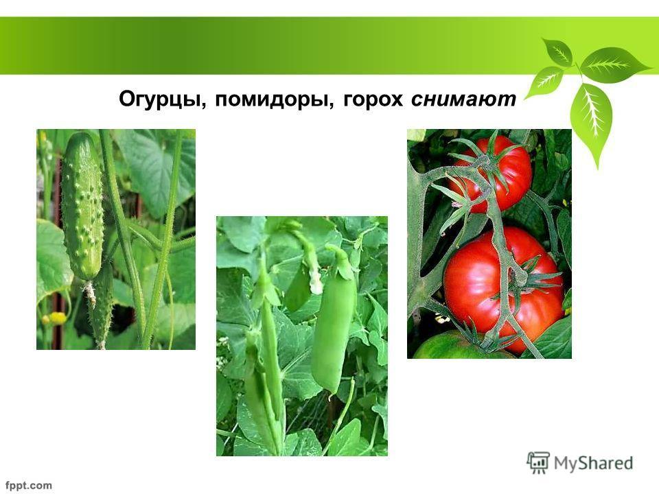 Огурцы, помидоры, горох снимают