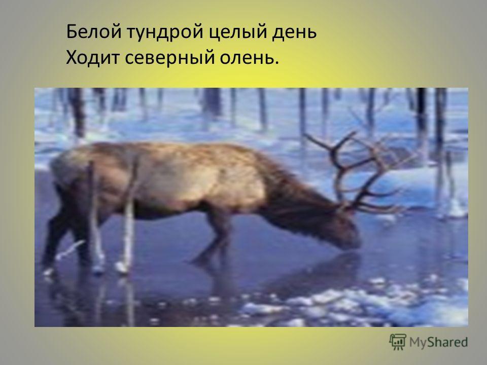 Белой тундрой целый день Ходит северный олень.