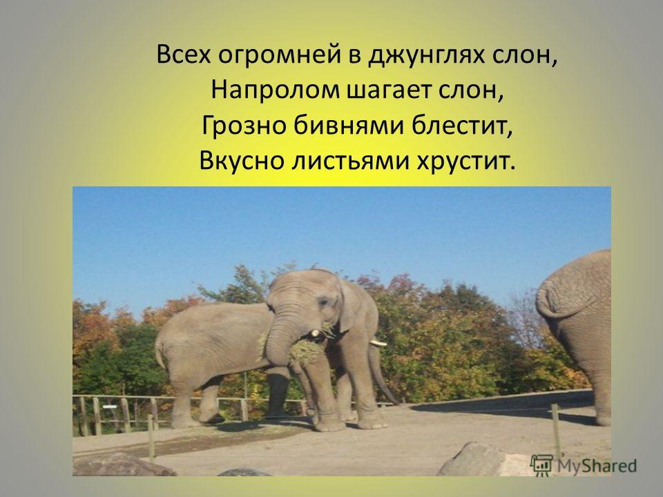 Всех огромней в джунглях слон, Напролом шагает слон, Грозно бивнями блестит, Вкусно листьями хрустит.