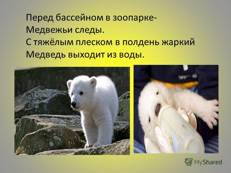 Перед бассейном в зоопарке- Медвежьи следы. С тяжёлым плеском в полдень жаркий Медведь выходит из воды.