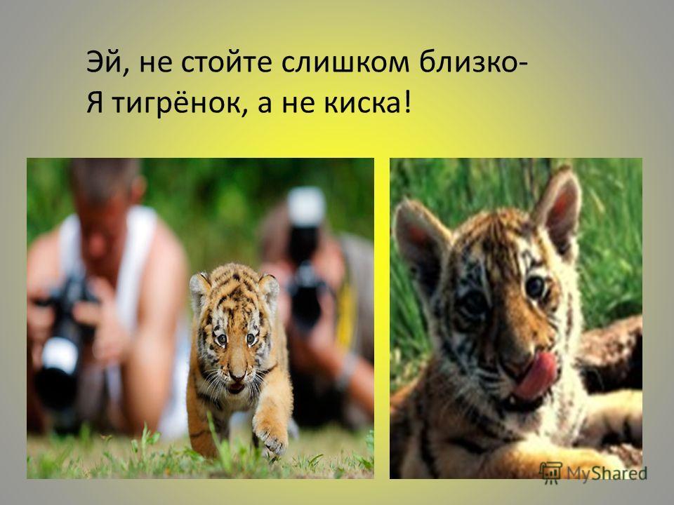 Эй, не стойте слишком близко- Я тигрёнок, а не киска!